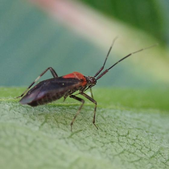 Black and red plant bug in Michigan