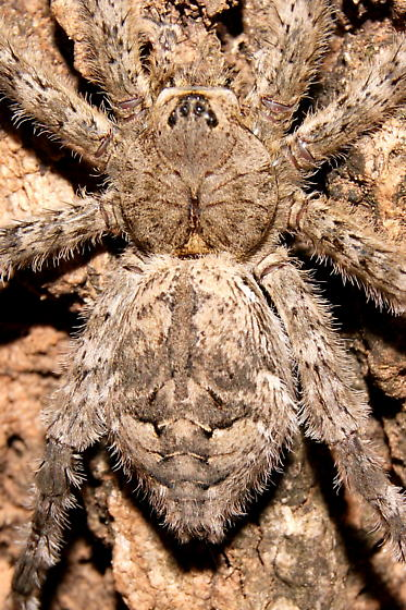 Large spider ID? - Dolomedes albineus