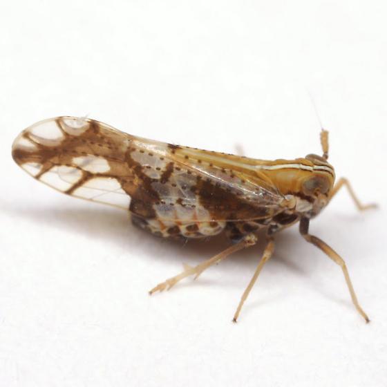 Liburniella ornata (Stål) - Liburniella ornata