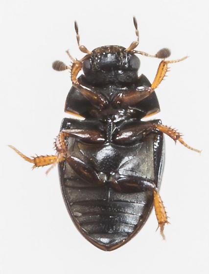 Beetle - Cercyon analis
