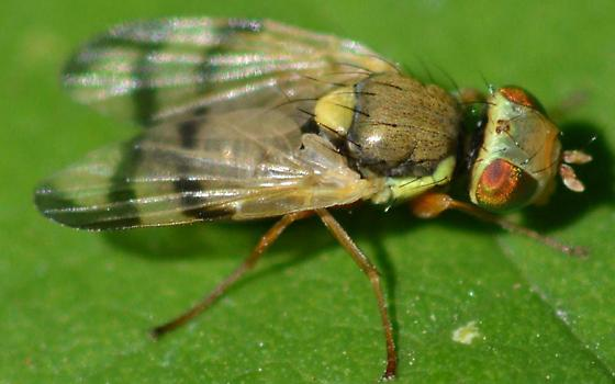 Tiny beautifly fly for ID please - Urophora