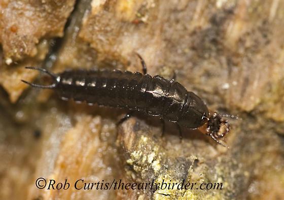 8026010 larva - Chlaenius