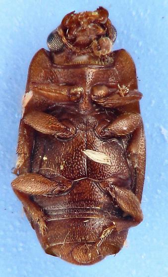 Nit - Carpophilus marginatus