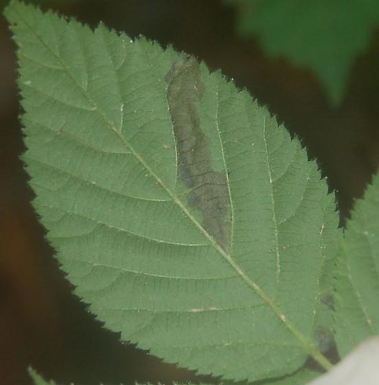 Lake Crabtree leaf miner on Rubus species D1070 2018 5 - Ectoedemia rubifoliella