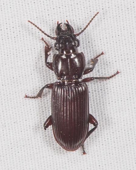 Pterostichus ? - Morion monilicornis