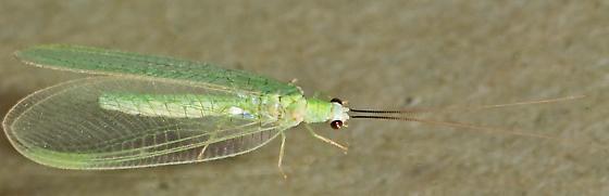 Chrysopa nigricornis