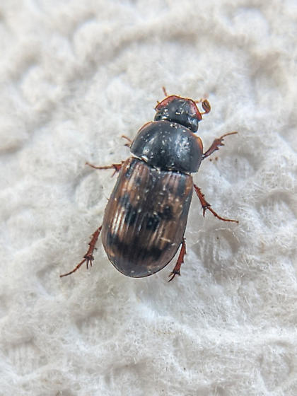 Small dung beetle