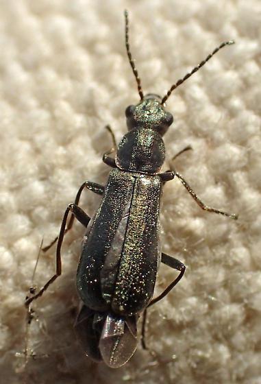 Malachiinae?
