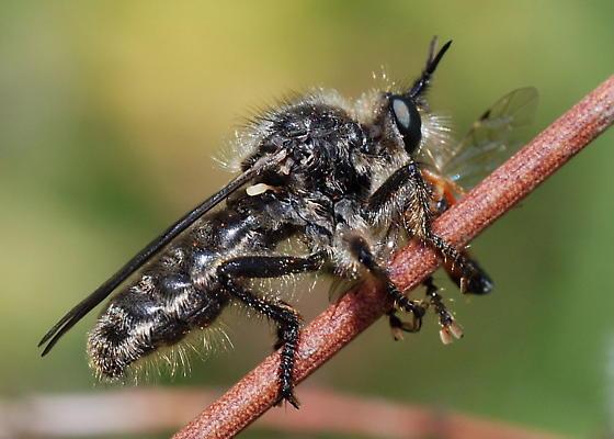 Robber Fly Feeding on Ichneumon - Dicolonus simplex
