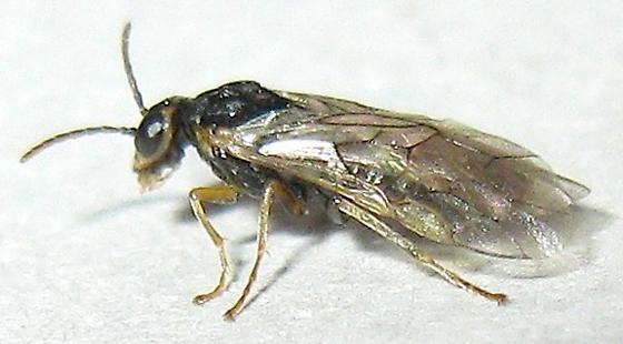 Small Sawfly