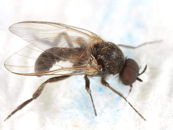 Black Fly - Prosimulium - male