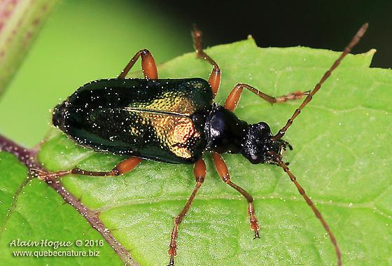 Unknown - Gaurotes cyanipennis