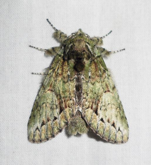 White-blotched Heterocampa - Heterocampa umbrata