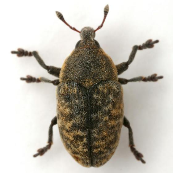 Larinus obtusus Gyllenhal - Larinus obtusus