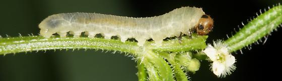 Unknown Sawfly larvae? - Halidamia affinis