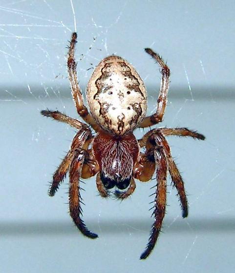Orb Weaver - Larinioides cornutus