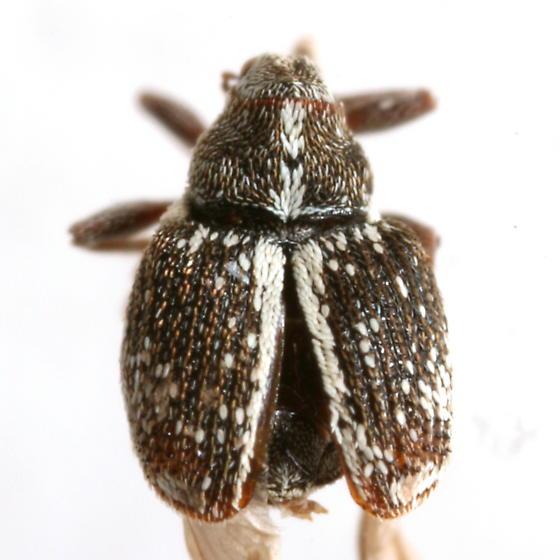 Ceutorhynchus