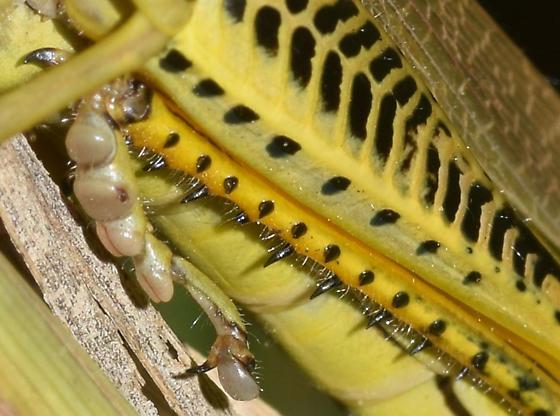left rear leg, differential grasshopper - Melanoplus differentialis - female