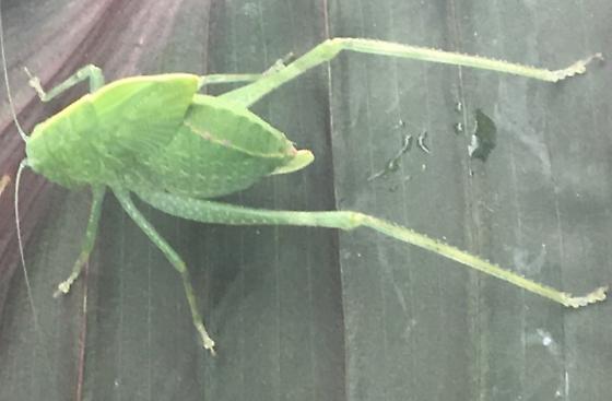 Large green leaflike bug - Microcentrum - female