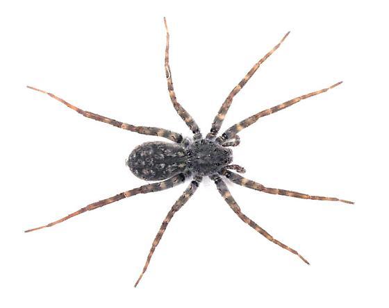 Arctosa - Pardosa lapidicina - female