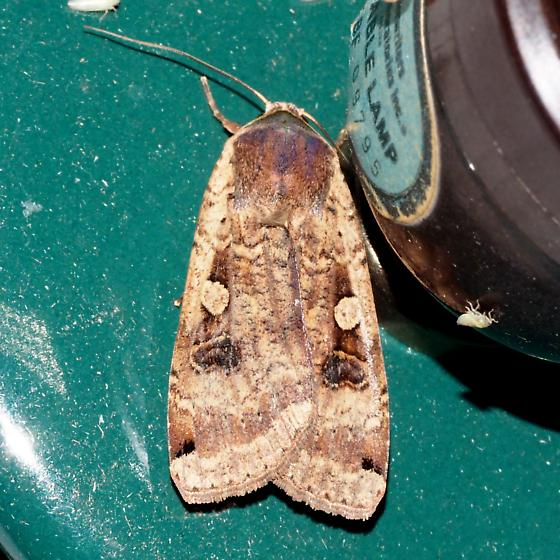 Hodges #11003.1 - Large Yellow Underwing Moth -  - Noctua
