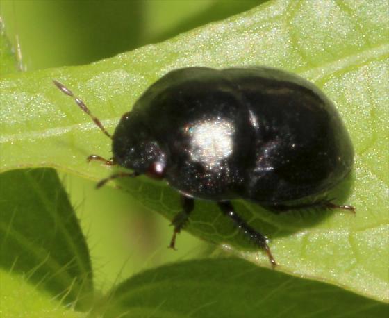 Ebony Bug
