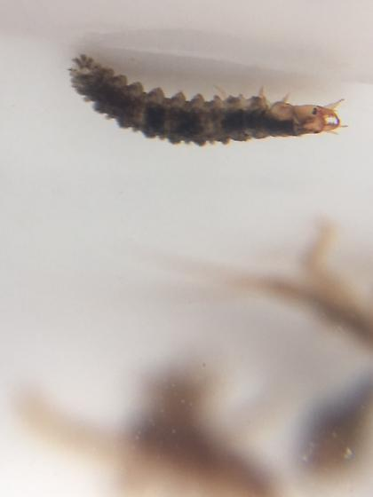 Water Scavenger Beetle Larvae?