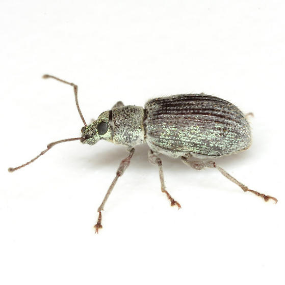 Asiatic Oak Weevil - Cyrtepistomus castaneus