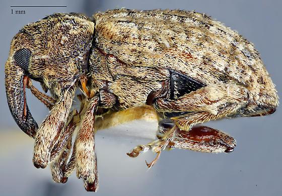 Conotrachelus seniculus