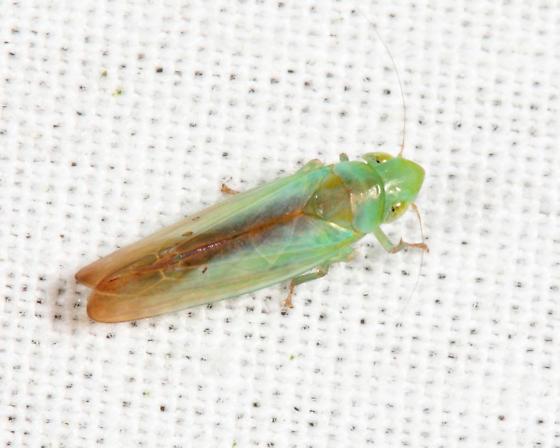 leafhopper - Neocoelidia tuberculata