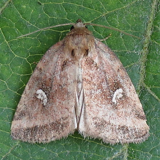 A Noctuid Moth - Photedes includens