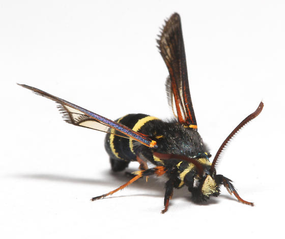 Sesiidae, Dusky Clearwing, frontal - Paranthrene tabaniformis