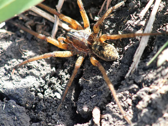 What species of wolf spider is this? - Tigrosa