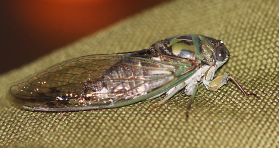 Scissor Grinder - Neotibicen pruinosus - male