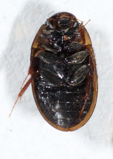 Hydrophilidae #3 - Enochrus pygmaeus