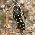 Acmaeodera gibbula - male - female
