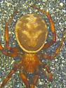 S. albomaculata female - Steatoda albomaculata - female