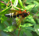 Cicada Killer Wasp - Sphecius speciosus