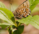 Butterfly - Callophrys niphon