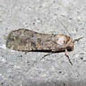 Small Mottled Willow Moth, #9665 - Spodoptera exigua