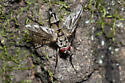 Tachinid Fly - Zelia - male