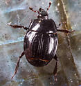 Clown Beetle ? - Margarinotus confusus