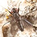 Island fly - Melanophora roralis