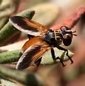 Trichopoda pennipes - male