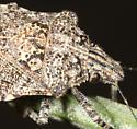 stinkbug - Brochymena
