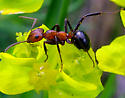 Ant 23 - Formica exsectoides