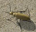 Blister beetle - Epicauta immaculata
