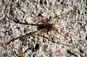 Miss brown widow?  - Latrodectus geometricus