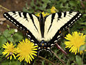 male adult eastern tiger swallowtail/Papilio glaucus - Papilio glaucus - male