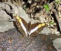 Silver Emperor = Doxocopa laure - Doxocopa laure - male